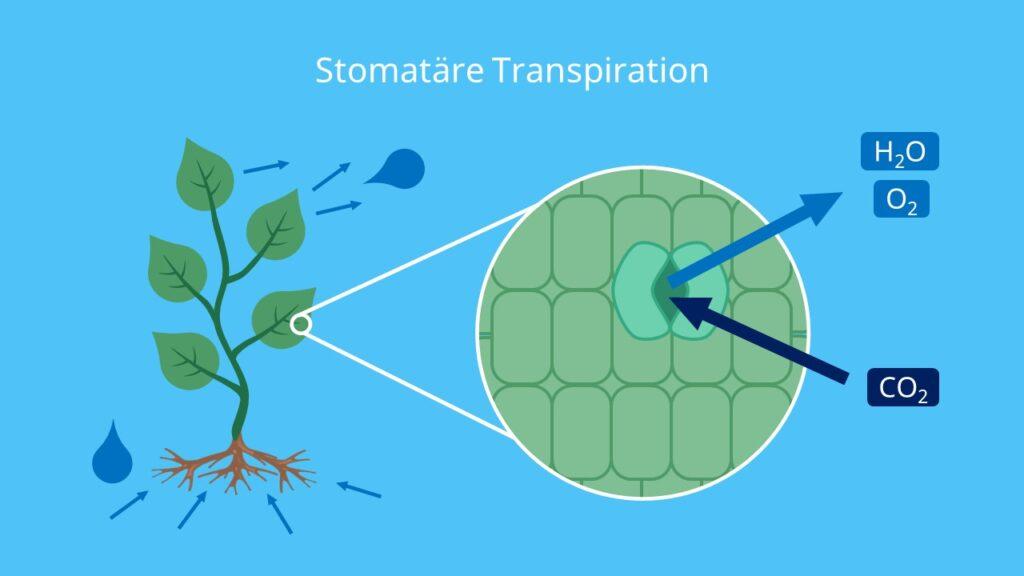 Stomatäre Transpiration, Transpiration Biologie, Transpiration Blatt, Transpiraton bei Pflanzen, Spaltöffnungen Funktion, transpirieren, transpiriert