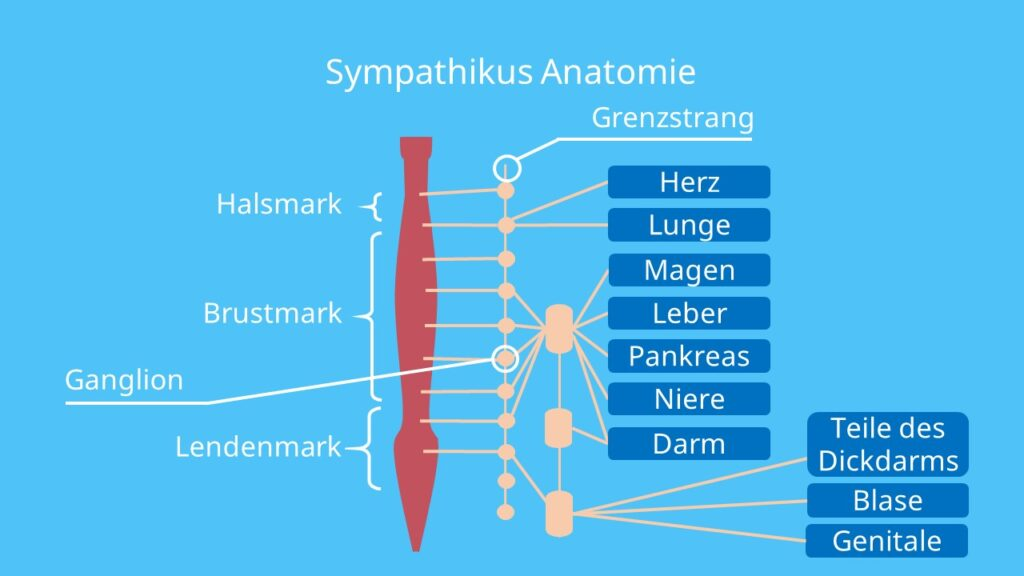 Ganglion cervicale superius, Grenzstrang, Sympathikus Nerv, Ganglien, Rückenmark