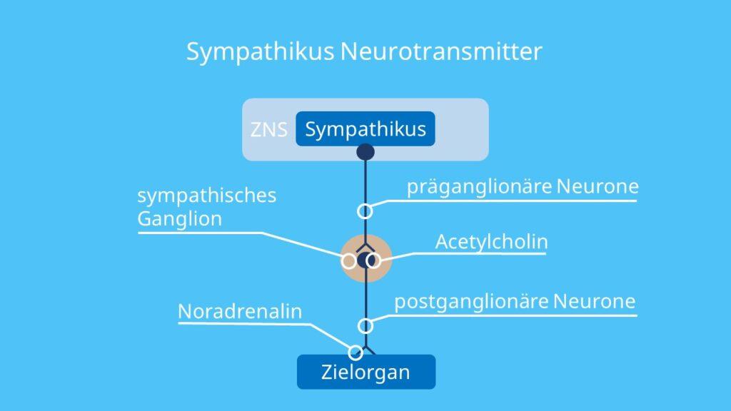 Acetylcholin, Noradrenalin, Ganglien, Sympatikus, Sympathicus