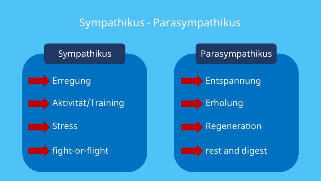 Parasympathikus, rest and digest, trophotrop, vegetatives Nervensystem, Parasympatikus, Parasympathicus