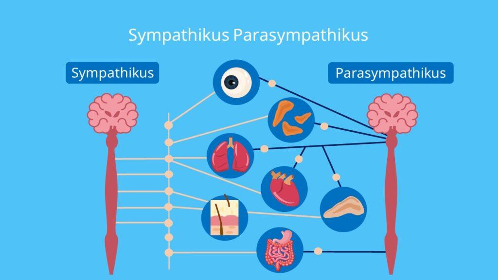 Sympathisches Nervensystem, parasympathisches Nervensystem, Gegenspielerprinzip