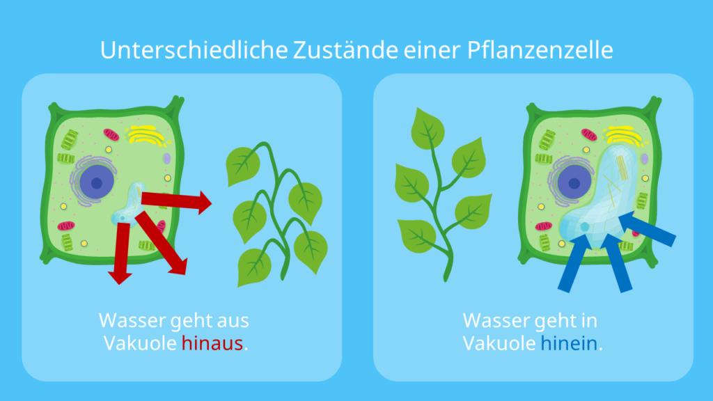 Unterschiedliche Zustände einer Pflanzenzelle, Turgeszenz, Osmose Pflanze, osmotischer Druck, Turgor, Turgordruck, Zellinnendruck, turgor pressure, Plasmolyse