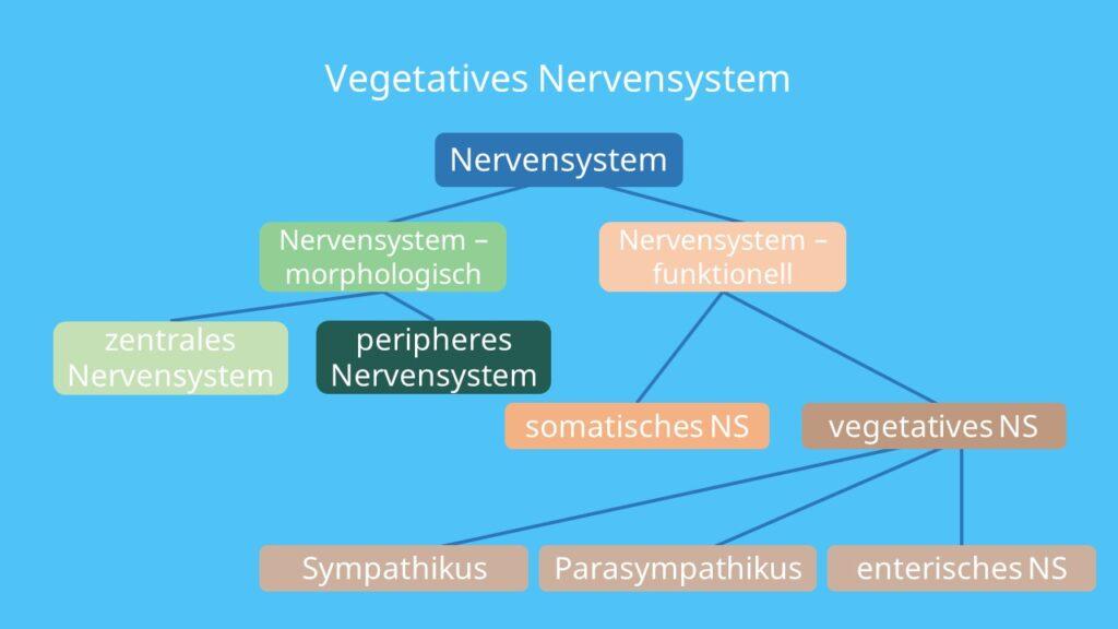 Nervensystem, zentrales Nervensystem, peripheres Nervensystem, somatisches Nervensystem, Sympathikus, Parasympathikus, enterisches Nervensystem
