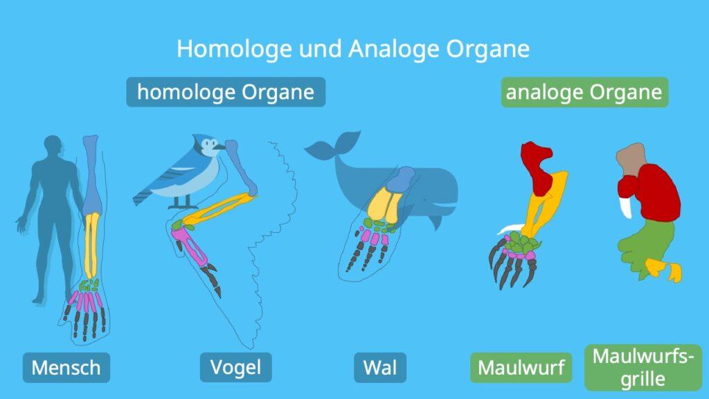Homologien, Analogien, homologe Organe, Homologa, Konvergenz, Wal, Mensch, Analogien, analoge Organe, Divergenz, Maulwurf, Maulwurfsgrille