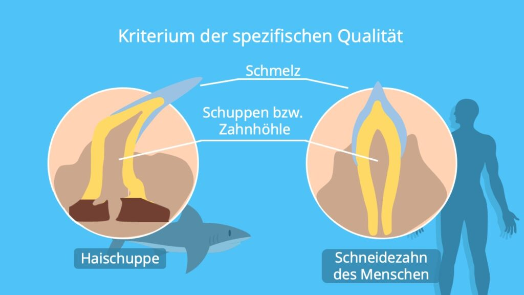 Haischuppe, Zahn Mensch, Beispiel, Aufgabe, Homologien, homologe Organe