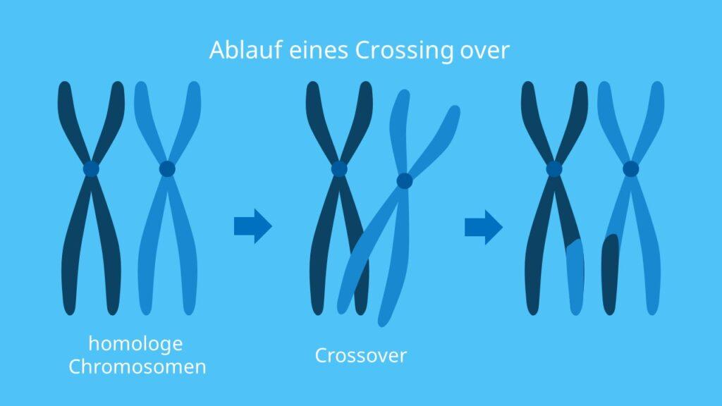 Crossing over, Crossover, Crossing Over ablauf, Crossover Ablauf