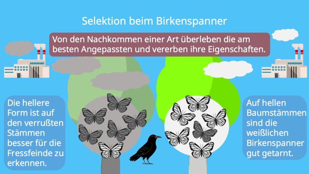 Selektion, Industiemelanismus, Birkenspanner, Beispiel