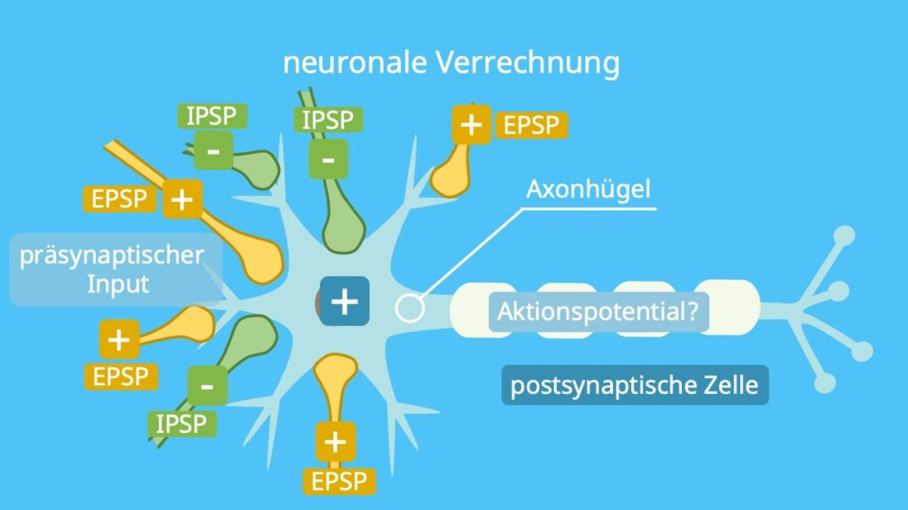 EPSP IPSP, IPSP EPSP, axonhügel, summation, synapsen, postsynaptisches potential