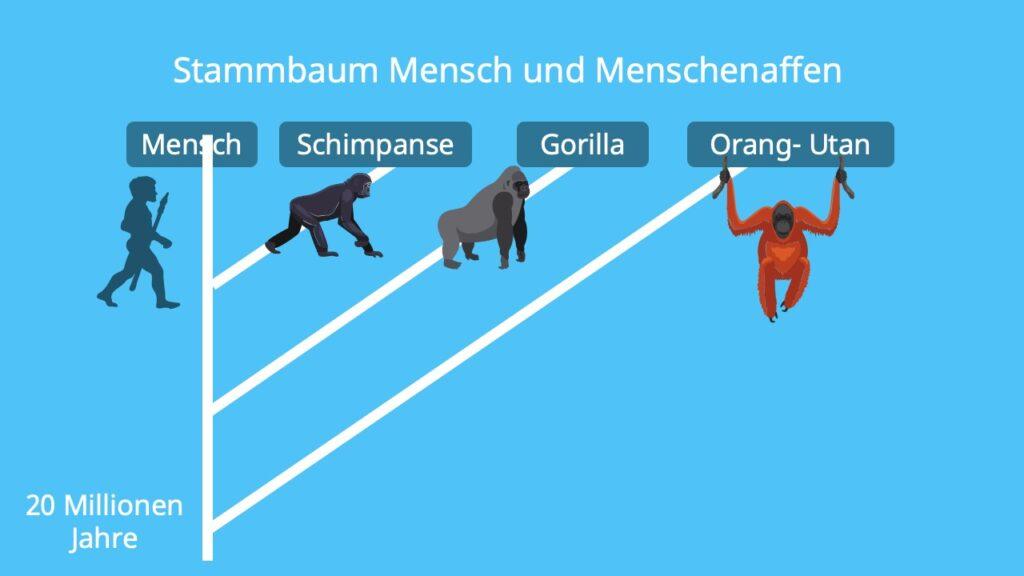 Primaten, Hominiden, homo sapiens, Stammbaum des Menschen, Evolution des Menschen