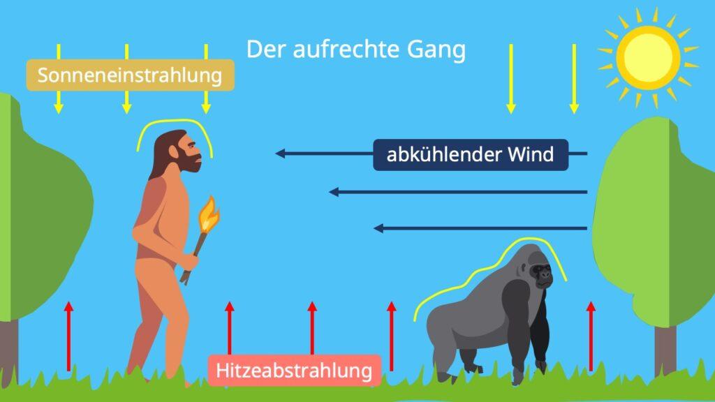 Evolution des Menschen, der aufrechte Gang, entwicklung des Menschen
