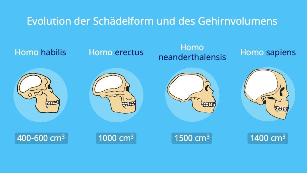 Evolution des Menschen, Schädel, Mensch, Homo, homo sapiens, homo erectus, homo neanderthalensis