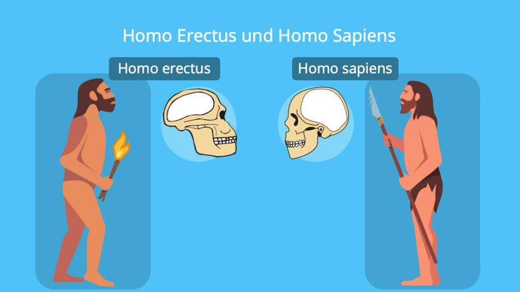 Homo erectus, homo erectus schädel, frühmensch, homo erectus steckbrief