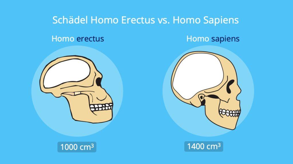 Homo erectus Schädel, Frühmensch, Evolution, Hirnvolumen
