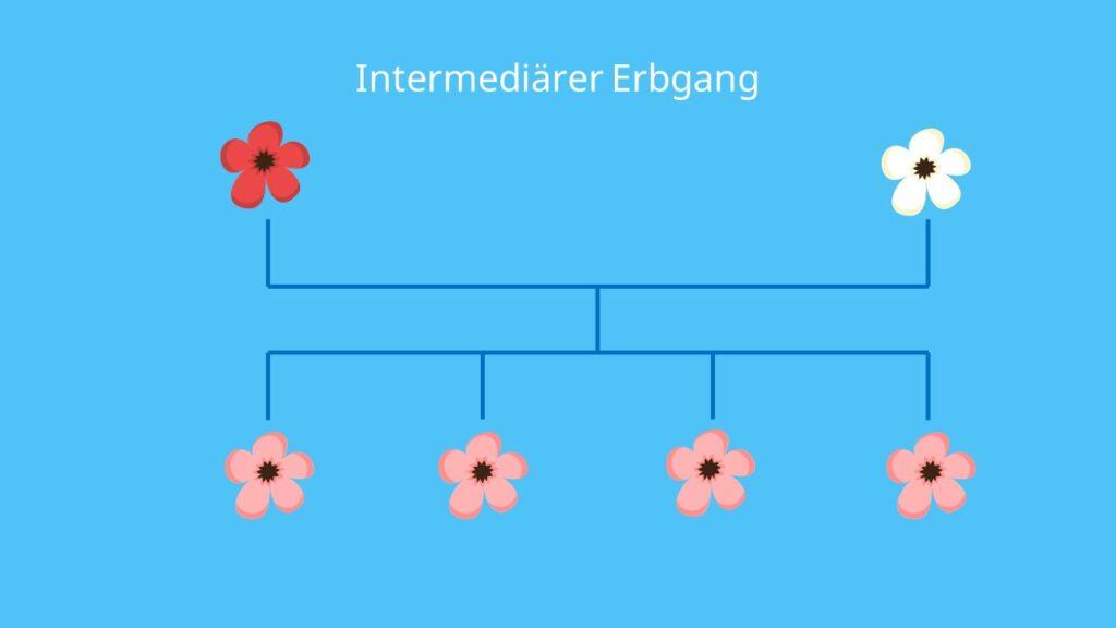 intermediär, Vererbung, Mendelsche Regeln, Filialgeneration, unvollständige Dominanz, intermediärer Erbgang