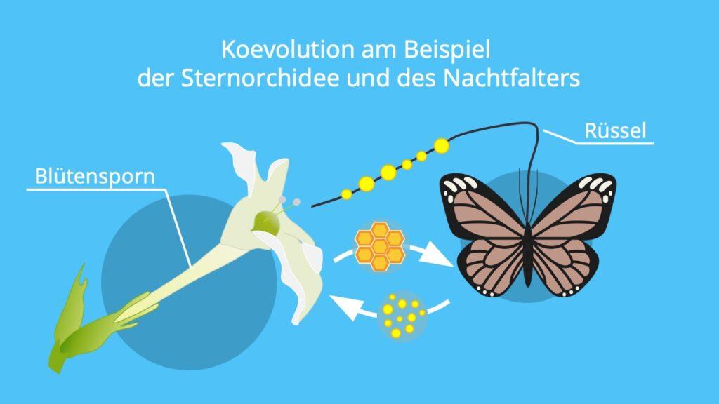 Stern von Madagaskar; Sternorchidee, Koevolution Beispiel, Charles Darwin, Koevolution Symbiose