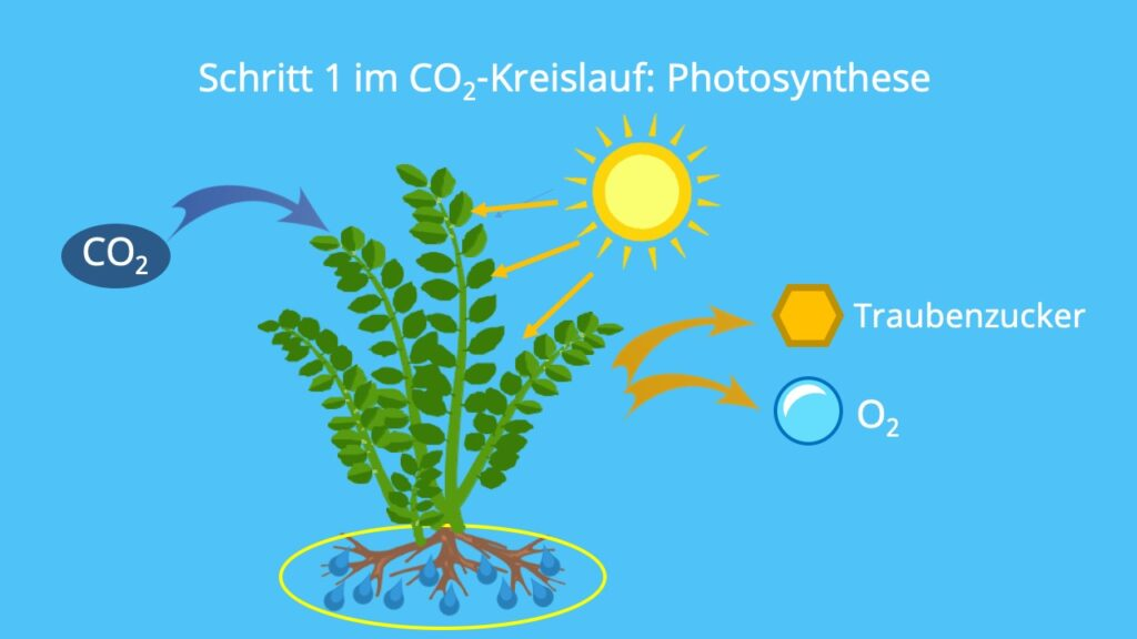 Kohlenstoffkreislauf, Kohlenstoffzyklus, Kreislauf der Natur, Stoffkreislauf Ökosystem, biologischer Kohlenstoffkreislauf