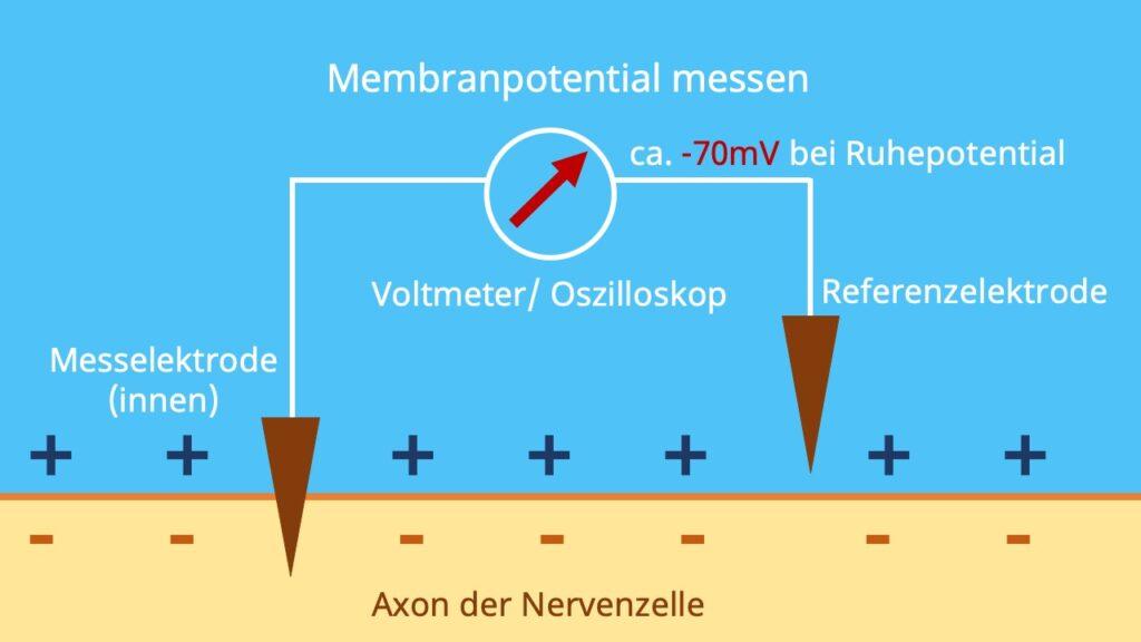 Membranpotenzial, Ruhepotential