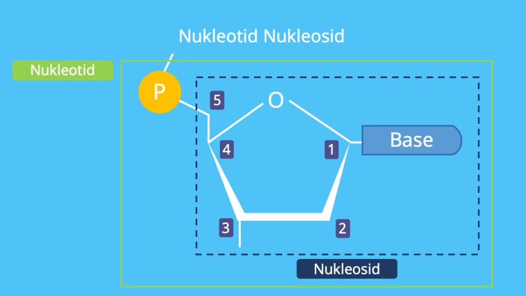 Nukleosid Nukleotid, Base, Phosphat, nucleotide, DNA, RNA