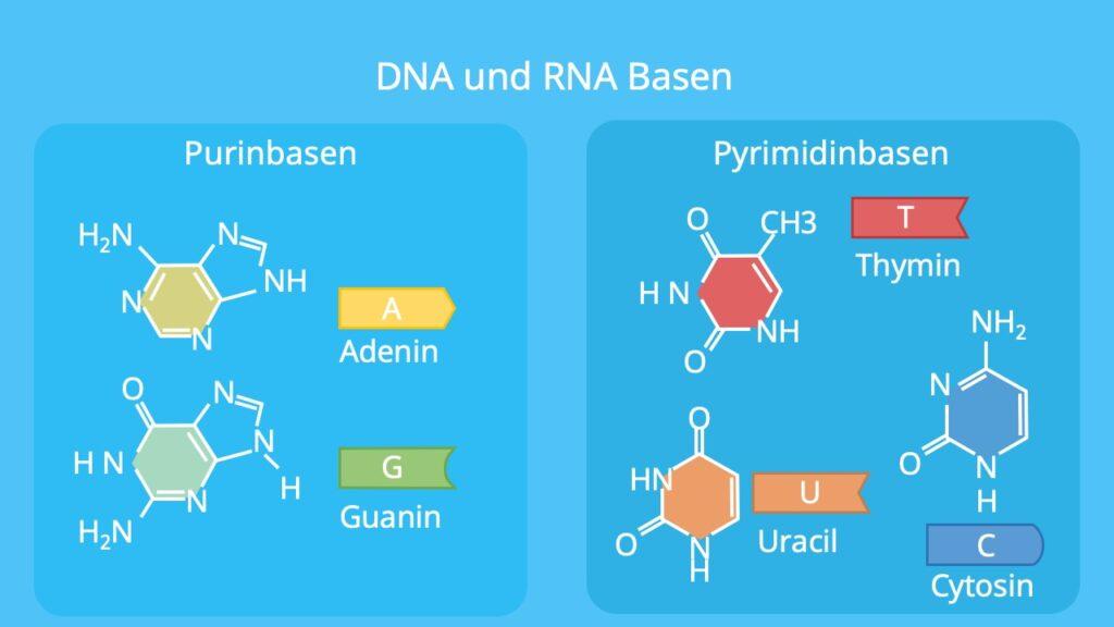 Adenin, Guanin, Cytosin, Thymin, Uracil, DNA Basen