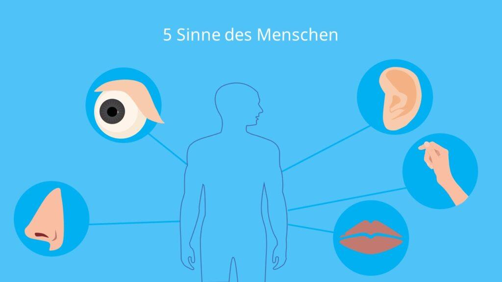 Sinnesorgan Auge, Sinnesorgan Mund, Sinnesorgan Nase, Sinnesorgan Ohr, Sinnesorgan Haut, fünf Sinne, die Sinne, Sinne des Menschen