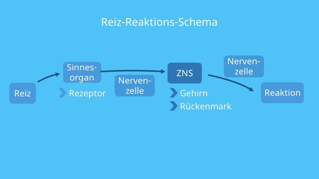 Reiz Reaktions Schema, Reiz Reaktion, Reiz Reaktionskette