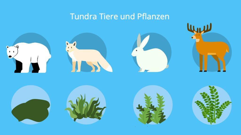 Tundrawolf, sibirischer Lemming, Tundra Vegetation