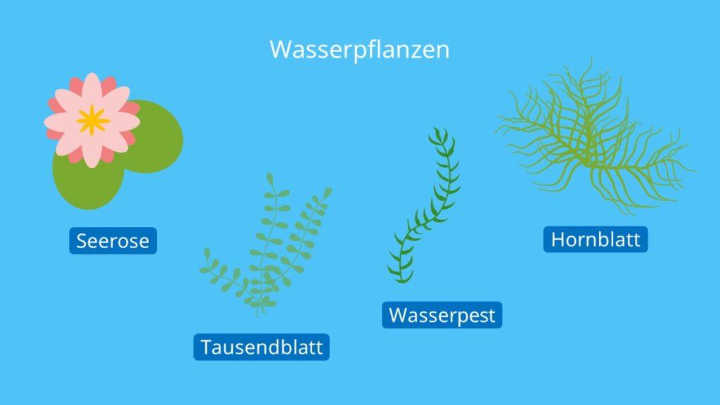Wasserpflanzen, Hydrophyten, Transpiration Blatt, Transpiration Biologie, Spaltöffnung Blatt, Transpiriert, Transpirieren, Wasser verlieren