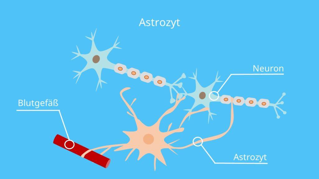 Astroglia, Nervenzelle