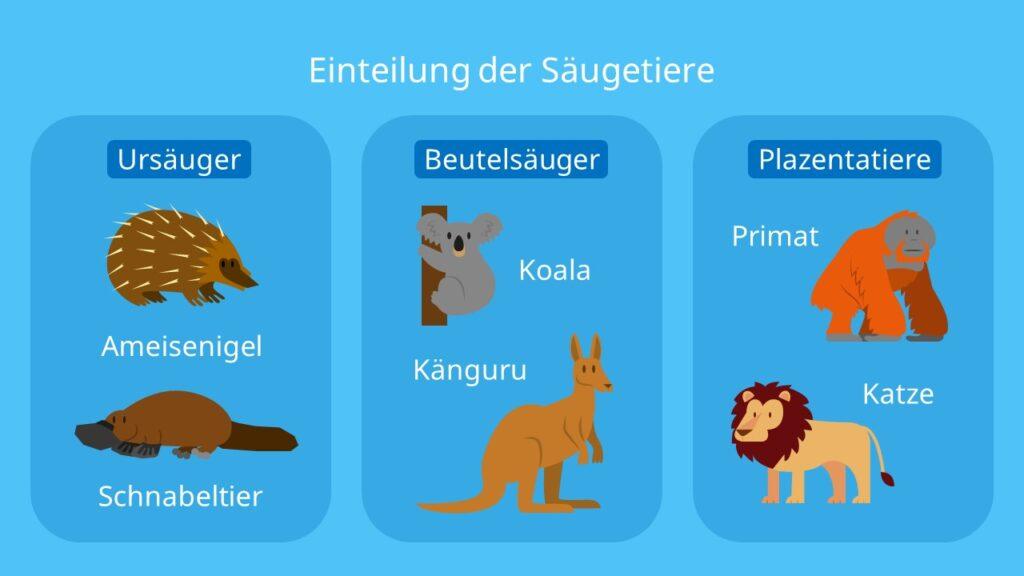 Einteilung der Säugetiere, Säugetiere Beispiele, Säugetierunterklassen, Ursäuger, Plazentatiere, Beutelsäuger, Protheria, Metatheria, Eutheria, Schnabeltier