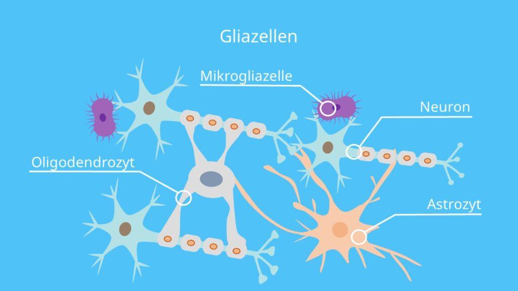 Glia Zellen, Gliazellen, Ependymzellen, Astrozyten, Oligodendrozyten, Mikroglia