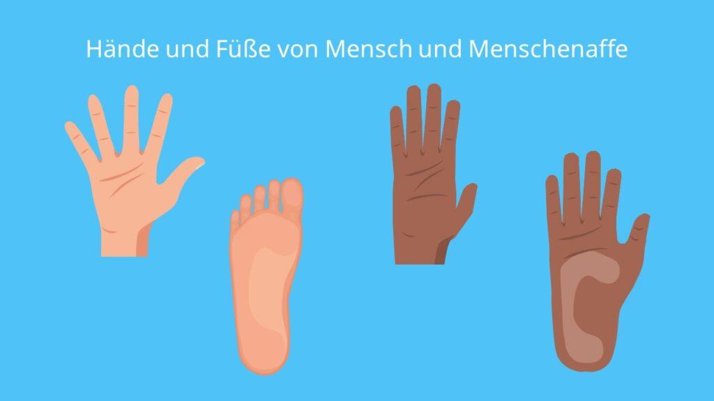 Hände und Füße von Mensch und Menschenaffe, Greifhand, Standfuß, Mensch, Menschenaffe, Vergleich Mensch Menschenaffe, Füße, Hände