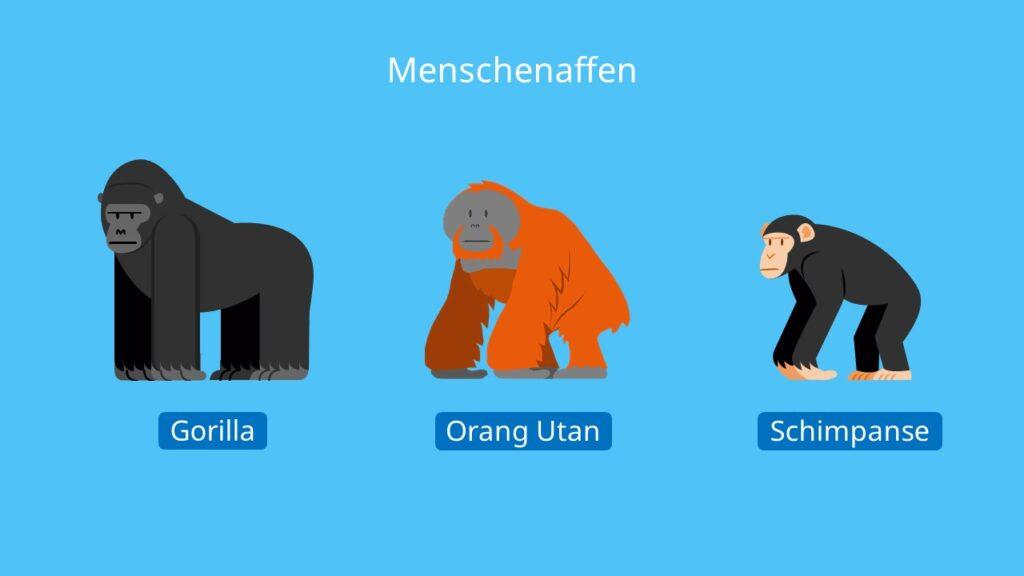 Menschenaffe, Menschenaffen, Schimpanse, Orang-Utan, Gorilla, Affen Steckbrief
