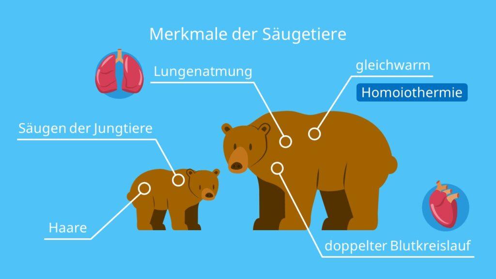 Merkmale Säugetiere, Merkmale der Säugetiere, Milchdrüsen, gleichwarm, vierkammriges Herz, Haare, lebendgebärend