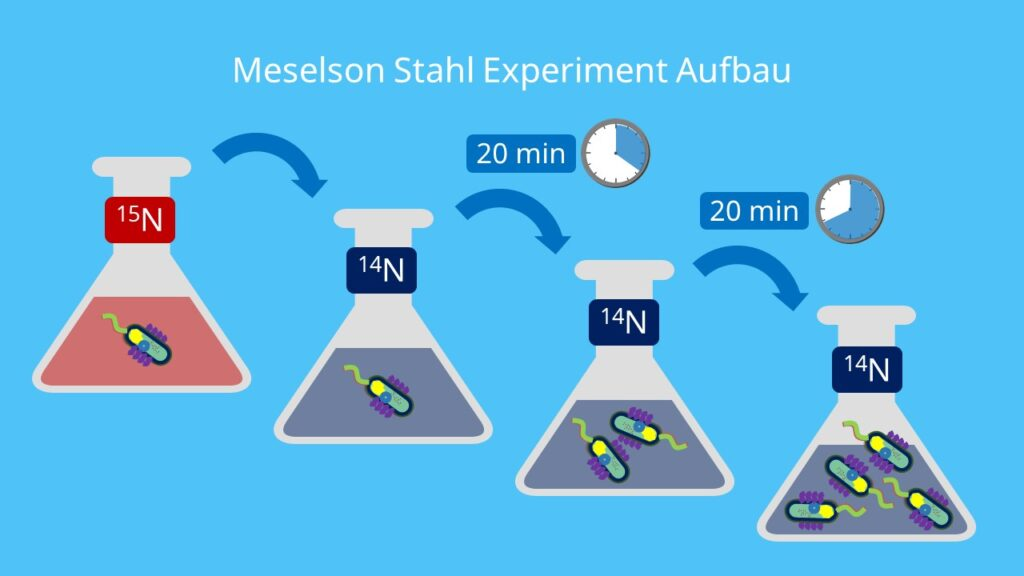 Meselson Stahl Experiment Ablauf, E coli Bakterien, Stickstoffisotope, Meselson Stahl