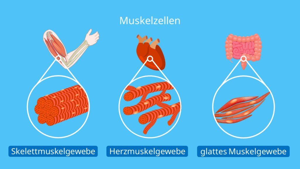 Muskelzellen, Myozyten, Skelettmuskelzellen, Herzmuskelzellen, glatte Muskelzellen