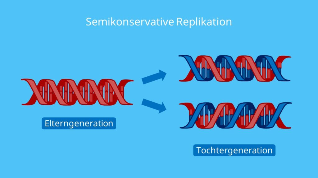 Semikonservative Replikation, DNA Replikation, Verdopplung der DNA, semikonservativ