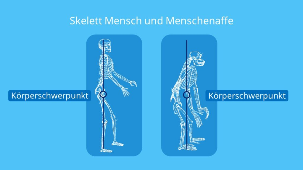 Skelett Mensch und Menschenaffe, Skelett Affe, Mensch, Menschenaffen, Vergleich