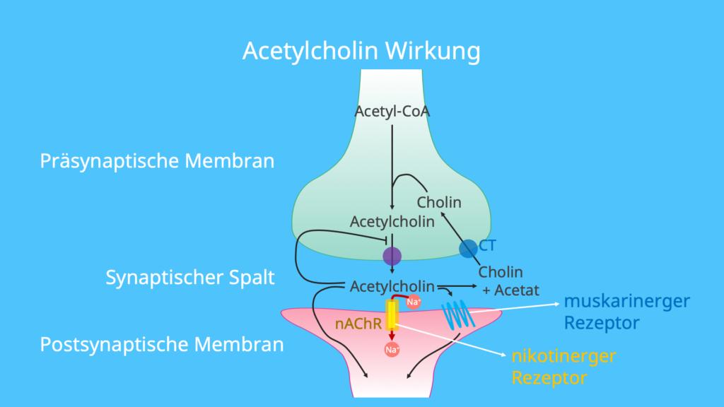 Cholin, Acetat, Acetylcholinrezeptoren, muskarinerger Rezeptor, nikotinischer Rezeptor, ionotrop, metabotrop
