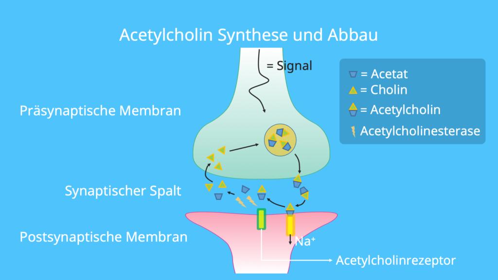 Acetylcholinesterase, Cholinacetyltransferase, Acetat, Cholin