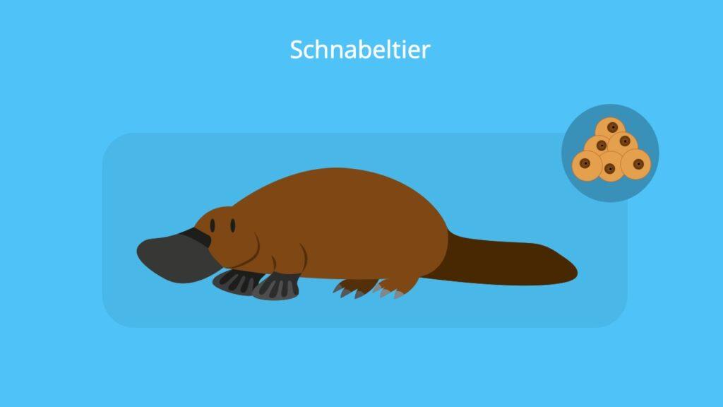 Schnabeltier; Brückentiere Beispiele; Reptilienmerkmale, rezent bedeutung