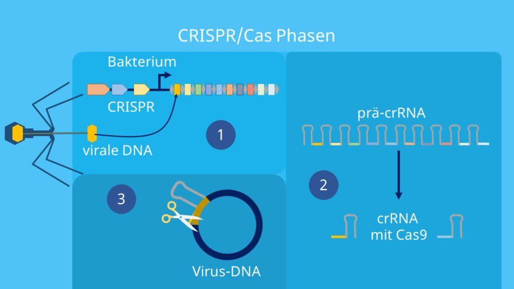 precrRNA, Cas, crRNA, Akquisition, Immunisierung
