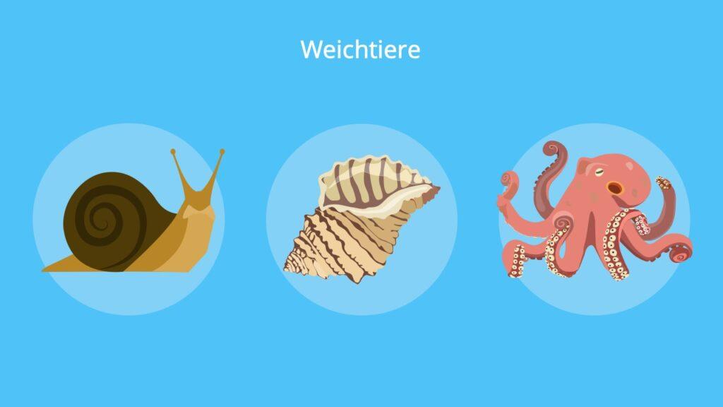 Tintenfisch, Schnecke, Muschel, Raspelzunge, Mollusken