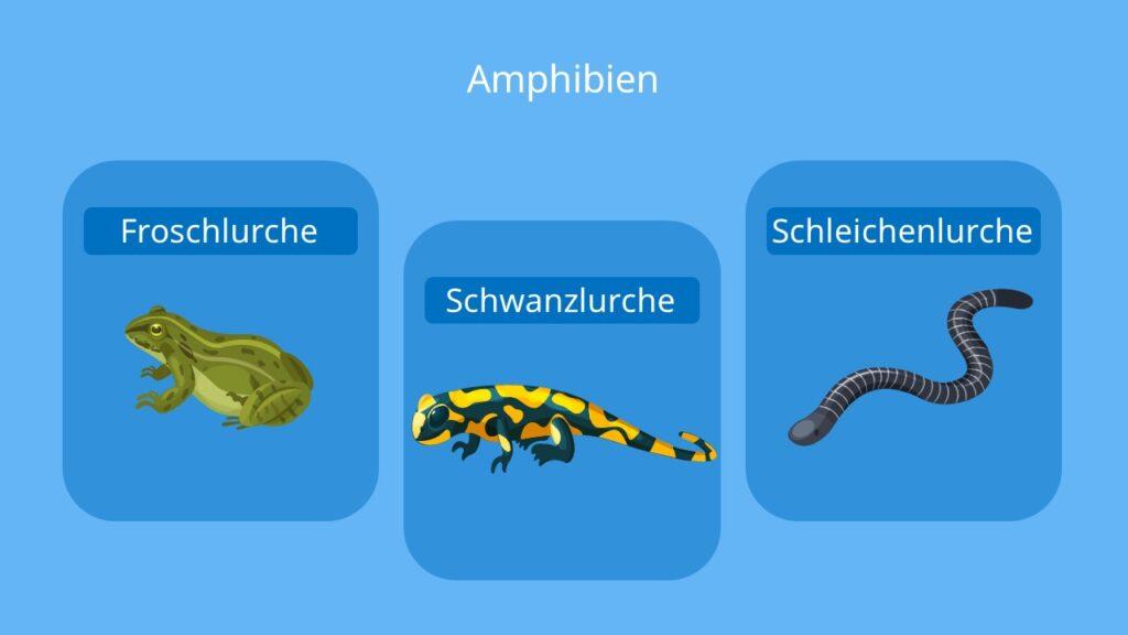 Froschlurche, Schwanzlurche, Schleichenlurche, Anura, Caudata, Lurche, Frösche, Kröten