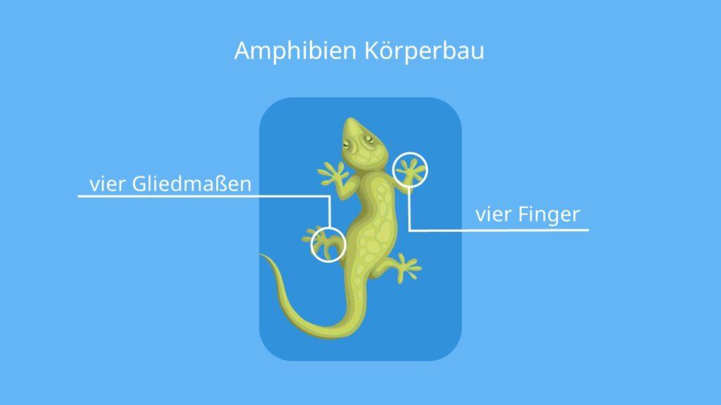 4 Finger, Frosch, Lurchtier, 4 Gliedmaßen