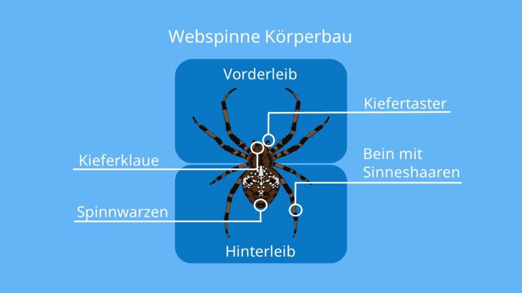 Kieferklaue, Sinneshaare, Spinne Körperbau, Vorderleib, Hinterleib