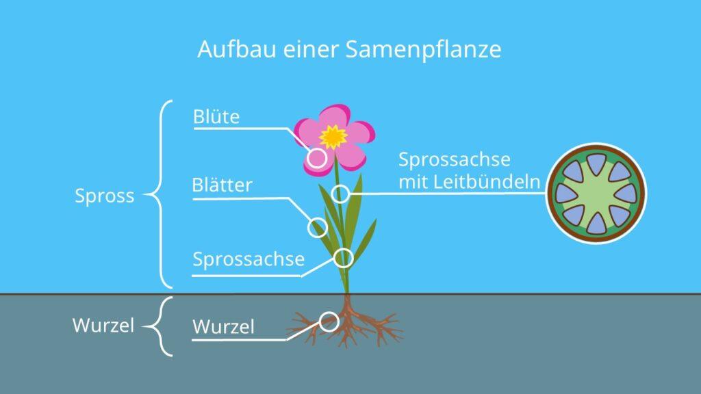 Aufbau Samenpflanze, Aufbau Blütenpflanze, Spermatophyten, Bedecktsamer, Nacktsamer, Angiospermen, Gymnospermen