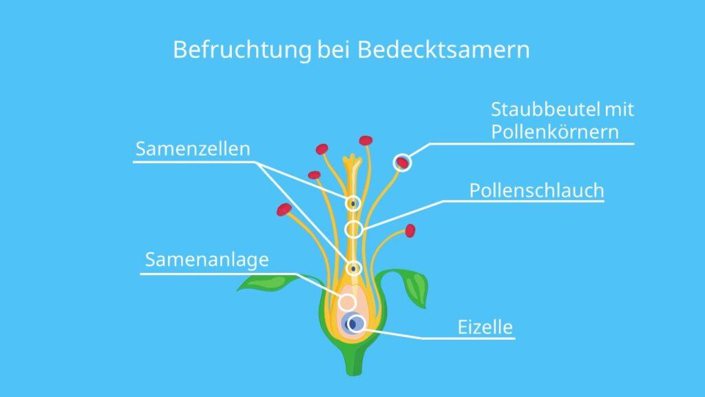 Bedecktsamer, befruchtung, bedecktsamige pflanzen, angiospermen