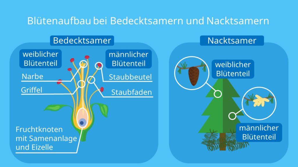 zwittrige pflanze, bedecktsamer, nacktsamer, zapfen, blüte, samenpflanzen, männlicher blütenstand, weiblicher blütenstand