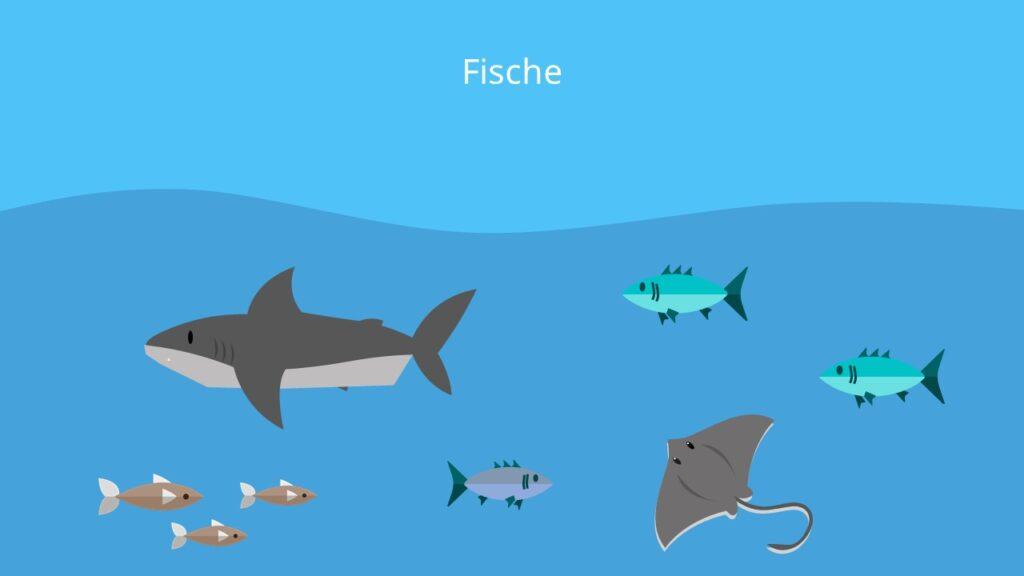 Knorpelfische, Knochenfische, Kiemen