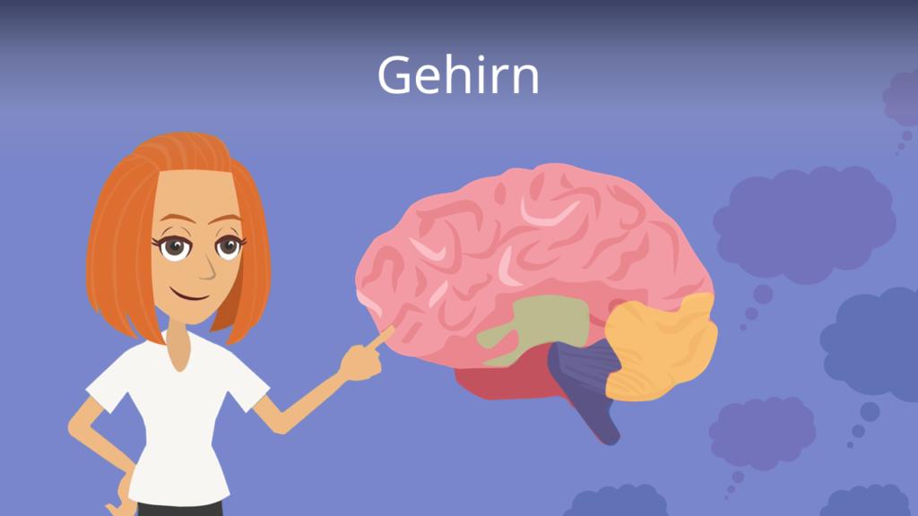 Zum Video: Gehirn